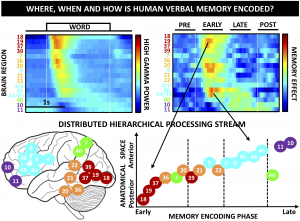 How is memory organized in the brain? New research article from our